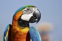 Ary papuga obraz stock