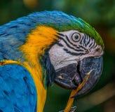 Ary papuga Zdjęcia Stock