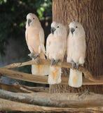Ary papuga Obraz Royalty Free