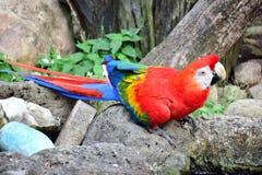 Ary papuga, czerwień, łapiąca na skale zdjęcia royalty free