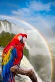 Ary papuga przy Cataratas Iguacu Zdjęcie Royalty Free