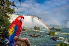 Ary papuga przy Cataratas Iguacu Obrazy Royalty Free
