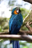 Ary papuga w blue&orange w Bali ptaka parku Obraz Stock