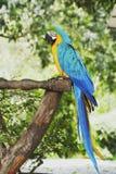 Ary papuga w naturze Obrazy Stock