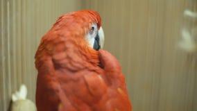 Ary ary papuga zamknięta w górę zdjęcie wideo