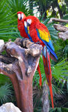 Ary papugi ptaki Obrazy Stock