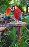 Ary papugi ptaki Zdjęcia Royalty Free