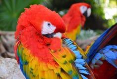 Ary papugi ptaki Obrazy Royalty Free
