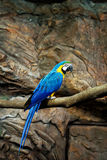 Ary papuzi błękit Obrazy Royalty Free