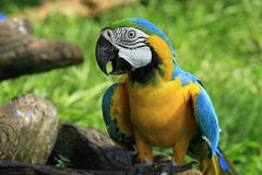 ary piękna kolorowa papuga Zdjęcia Royalty Free