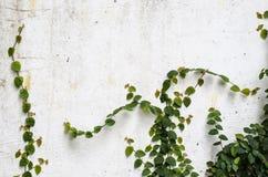 Arywista roślina na betonowej ścianie Obrazy Stock