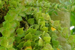 Arywista rośliny serca liście zdjęcie royalty free