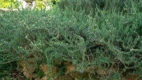 Arywista zasadza Sensualnego organicznie ogród, Rozmarynowy fragrant ziele jest jadalnym odrewniałym odwiecznie rośliną z greener obraz royalty free