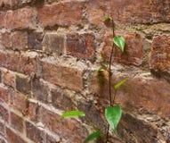 arywisty wspinaczkowa róż ściana Obrazy Royalty Free