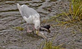 Asätarefåglar som feasing royaltyfri fotografi
