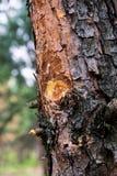 Así en pino en el bosque Imagen de archivo