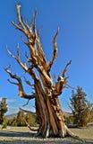 As árvores as mais velhas dos mundos nas montanhas brancas de Califórnia Fotografia de Stock Royalty Free