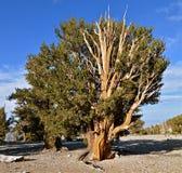 As árvores as mais velhas dos mundos nas montanhas brancas de Califórnia Fotografia de Stock
