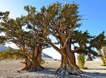 As árvores as mais velhas dos mundos nas montanhas brancas de Califórnia Foto de Stock