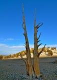 As árvores as mais velhas dos mundos nas montanhas brancas de Califórnia Fotos de Stock Royalty Free