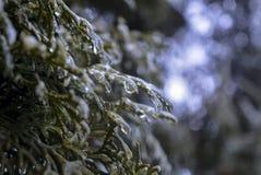 As árvores cobertas com o gelo Fotografia de Stock Royalty Free