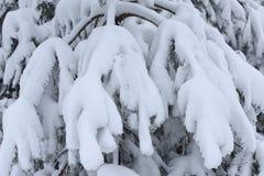 As árvores cobriram a neve Árvores de Natal cobertas com a neve branca fro foto de stock
