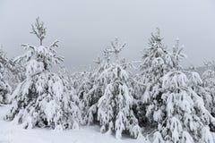 As árvores cobriram a neve Árvores de Natal cobertas com a neve branca fro imagem de stock