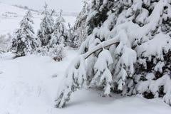 As árvores cobriram a neve Árvores de Natal cobertas com a neve branca fro fotos de stock