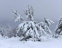 As árvores cobriram a neve Árvores de Natal cobertas com a neve branca fro fotografia de stock royalty free