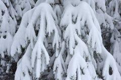 As árvores cobriram a neve Árvores de Natal cobertas com a neve branca fro imagens de stock