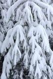 As árvores cobriram a neve Árvores de Natal cobertas com a neve branca fro imagens de stock royalty free