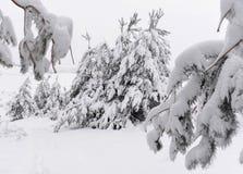 As árvores cobriram a neve Árvores de Natal cobertas com a neve branca fro fotos de stock royalty free