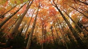 As árvores coloridas do outono na floresta com amarelo dourado saem no trajeto e na grama, floresta sazonal bonita, verão indiano vídeos de arquivo