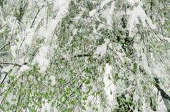 As árvores com folhas verdes estão sob a neve imagens de stock