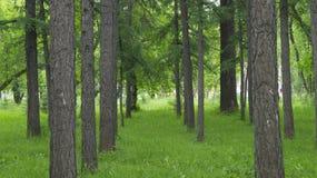 As árvores coníferas crescem em fileiras retas no parque foto de stock