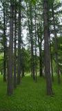 As árvores coníferas crescem em fileiras retas no parque fotos de stock