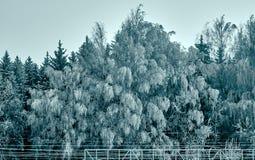 As árvores congeladas após o blizzard que está na floresta gostam em uma cauda feericamente escura imagem de stock royalty free