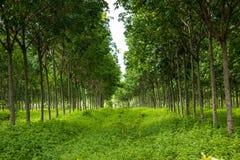 As árvores da borracha. Fotografia de Stock Royalty Free