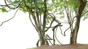 As árvores da selva com a grande liana das videiras plantam a escalada e torceram a Fotos de Stock