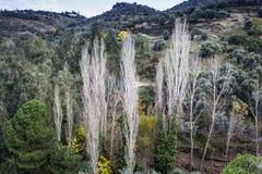 As árvores de álamo são centradas no vale Fotos de Stock