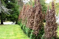 As árvores de cedro giraram parcialmente marrom foto de stock royalty free