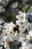 As árvores de cereja e o zangão de florescência bonitos polinizam Foto de Stock Royalty Free