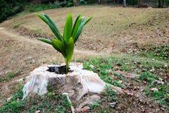 As árvores de coco crescem acima na cavidade de um coto de árvore Imagem de Stock Royalty Free