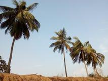 As árvores de coco no banco de um lago Foto de Stock
