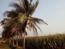 As árvores de coco nos campos fotografia de stock royalty free