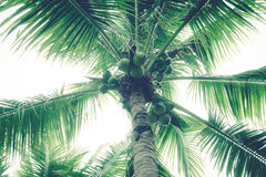 As árvores de coco têm um coco Fotografia de Stock