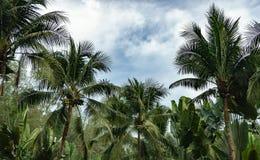 As árvores de coco têm um coco Imagens de Stock