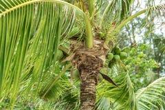 As árvores de coco têm um coco no fundo do céu Imagens de Stock Royalty Free
