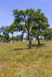 As árvores de cortiça em um campo de exploração agrícola no vale Seco, Santiago fazem Cacem Fotos de Stock
