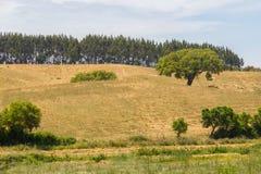 As árvores de cortiça em um campo de exploração agrícola no vale Seco, Santiago fazem Cacem Imagem de Stock